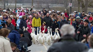 Annual Swan Release