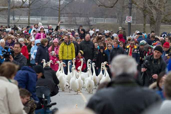 Annual Swan Release - Photo by: Stratford Tourism Alliance - www.visitstratford.ca