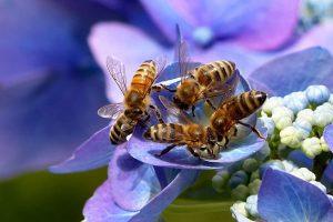 Honeybee - Photo by: Christiane / Oldiefan [via-pixabay.com]