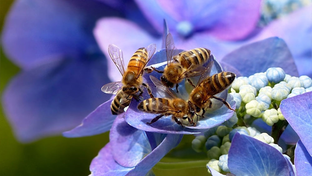 Honeybee - Photo by: Christiane / Oldiefan [via-pixabay.com]