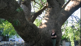The giant Plane tree in Tsagkarada