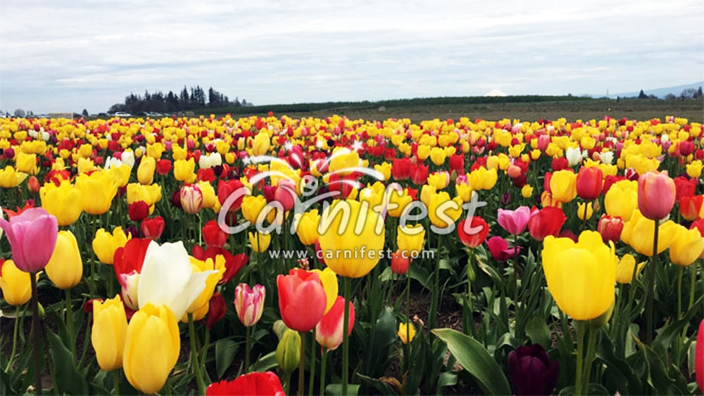 Wooden Shoe Tulip Festival 2020.Wooden Shoe Tulip Fest 2020 Tickets Dates Venues