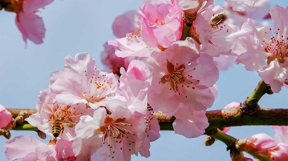 Macon Cherry Blossom Festival 2020.Macon Cherry Blossom Festival 2020 Tickets Dates Venues
